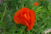 Red Poppy Bud