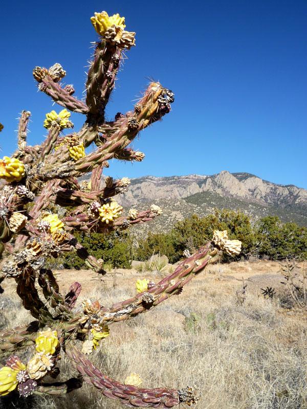 Cholla /Walking Stick Cactus