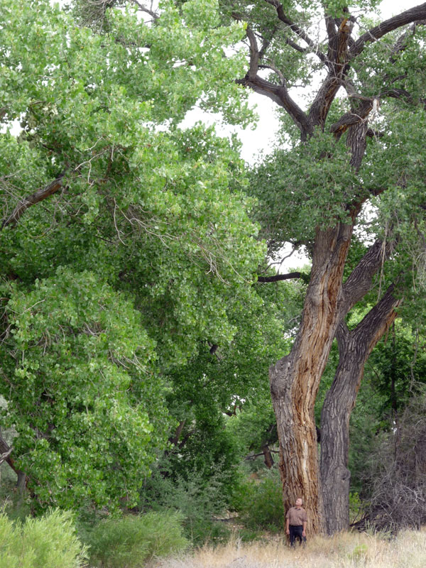 cottonwood2