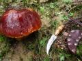 Aspen Bolete and Mushroom Knife