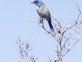 Jay same fam as ravens The Corvidae Family