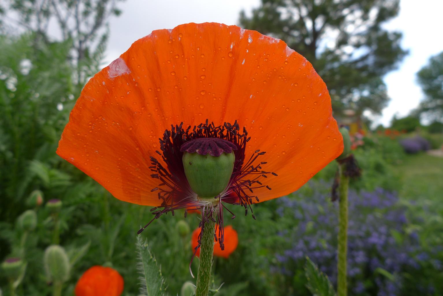 Red Poppy Petal